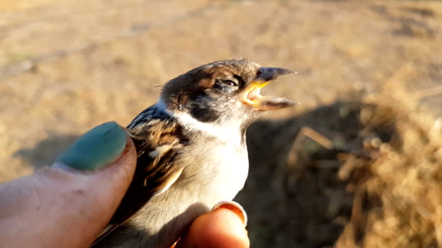 Little young sparrow on the woman hand, close up. Sunset light on summer field. video