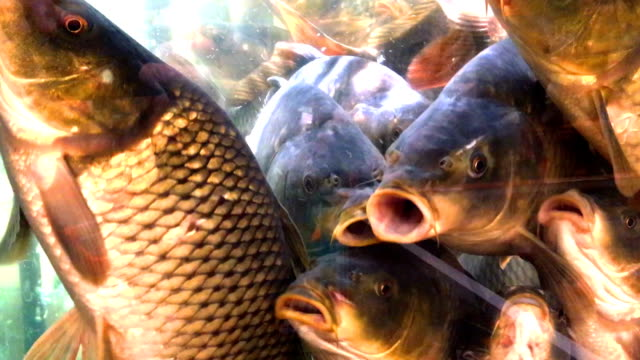 stockvideo's en b-roll-footage met live karper vissen zwemmen in een aquarium. - carp