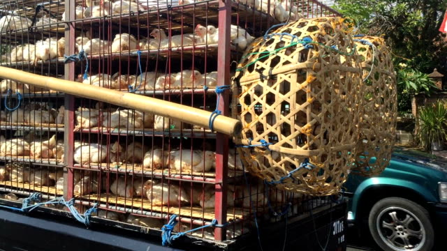 Live chickens being transported in cages on a truck in Bali video