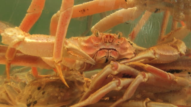 Live crabs in the tank with sea water. video