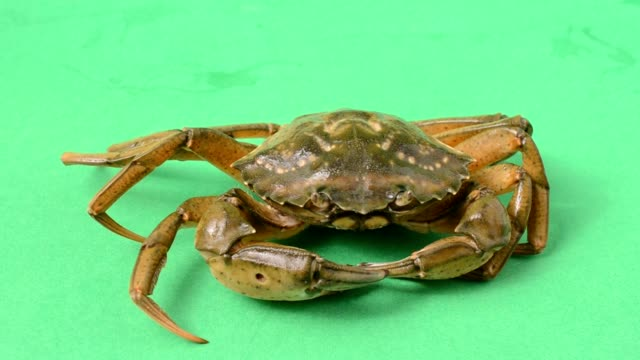 live crabs on a green background. - crostaceo video stock e b–roll