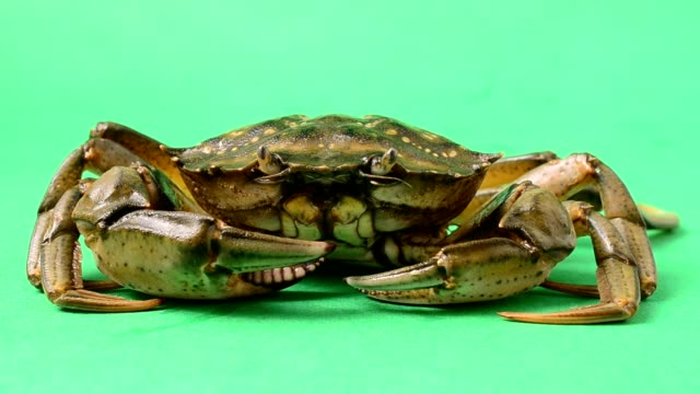 live crabs on a green background. - granchio video stock e b–roll