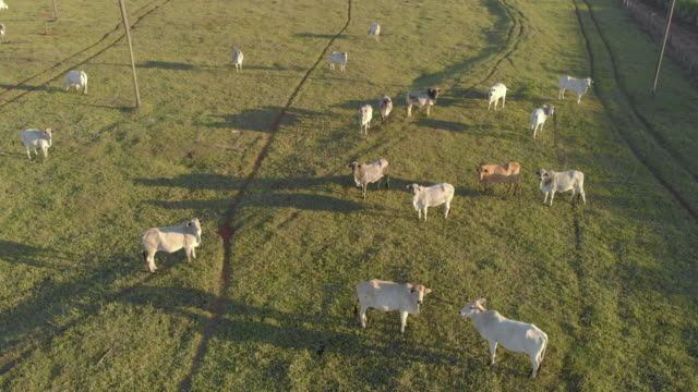 Livestock, cattle ranch Nelore Brazil