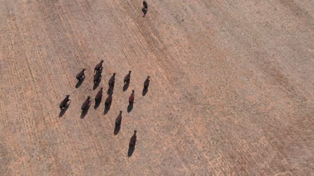 Livestock cows in dry drought effected rural outback farmland - aerial video