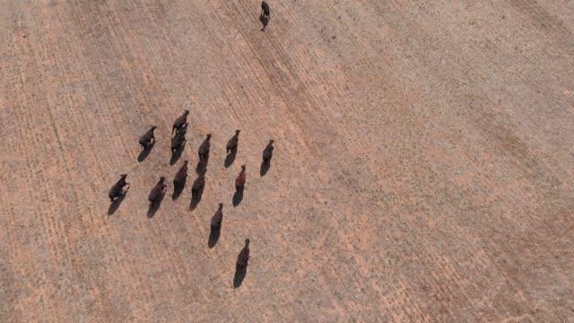 vídeos de stock e filmes b-roll de livestock cows in dry drought effected rural outback farmland - aerial - rancho quinta