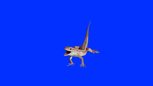 Lizard breathing like a dog on blue screen. video