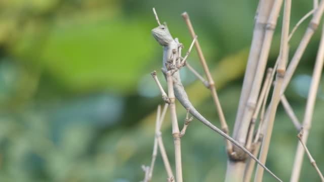 lizard climbing the bamboo branch video