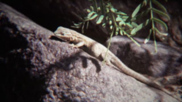 1972: Lizard closeup on hot summer rock basks in sunshine. video