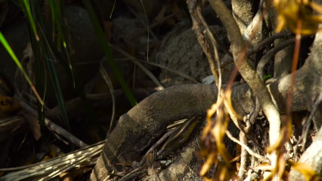 Lizard crawling along twisted roots tropical tree in forest. Close up lizard in rainforest. Reptiles in jungle, wild nature Lizard crawling along twisted roots tropical tree in forest. Close up lizard in rainforest. Reptiles in jungle, wild nature zoology stock videos & royalty-free footage