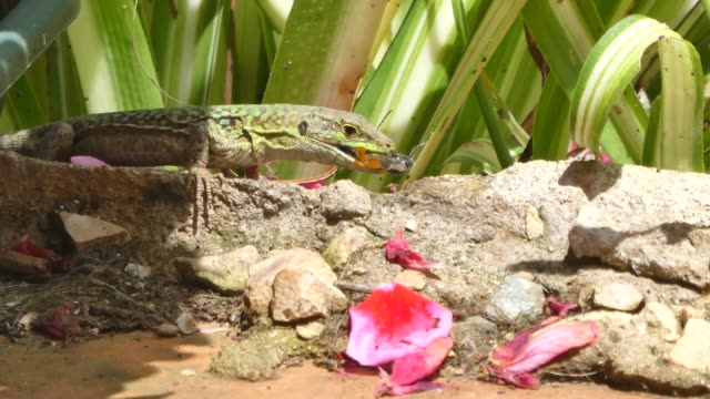 lizard eating an insect video
