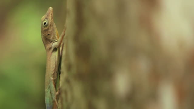 Lizard Escape HD1080 Chameleon darts up a tree. gecko stock videos & royalty-free footage