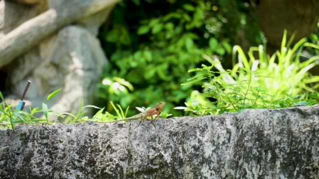 Lizard, Iguana, Gecko, Skink Lizard( Iguana, Gecko, Skink ) on the stone with green leaves Nature Background skink stock videos & royalty-free footage