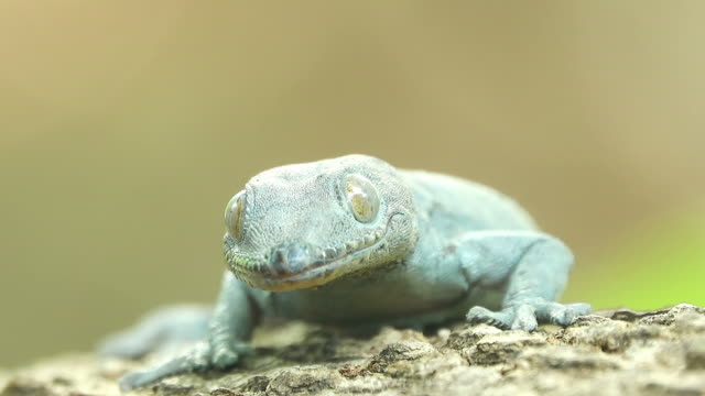 Lizard licking a mouth Close-up lizard licking a mouth gecko stock videos & royalty-free footage