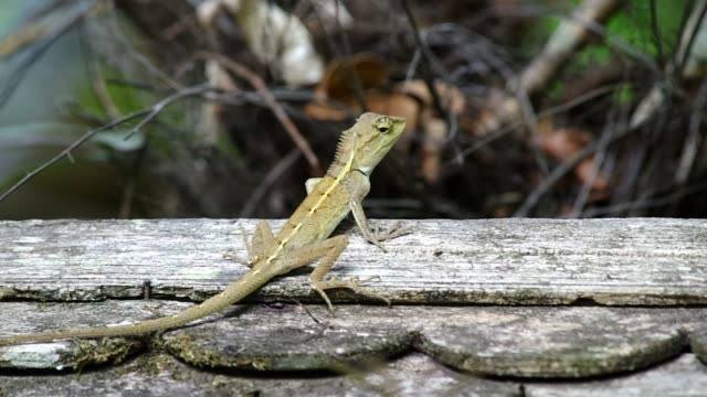 lizard on the wooden roof video