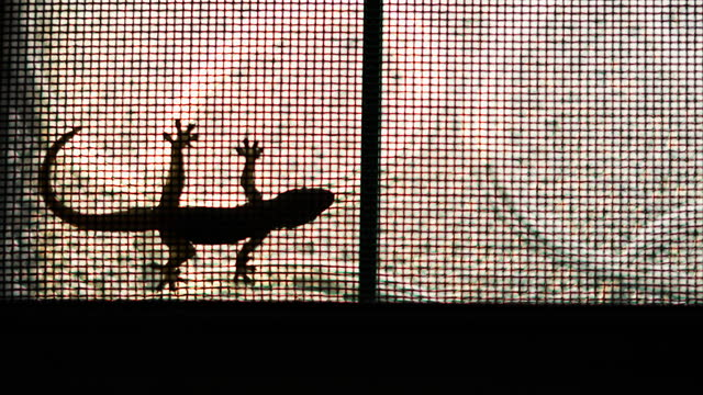 Lizard On Window Backlit