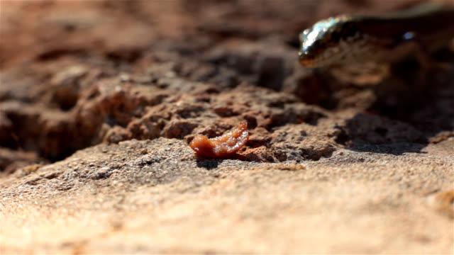 Lizard wildlife skink stock videos & royalty-free footage