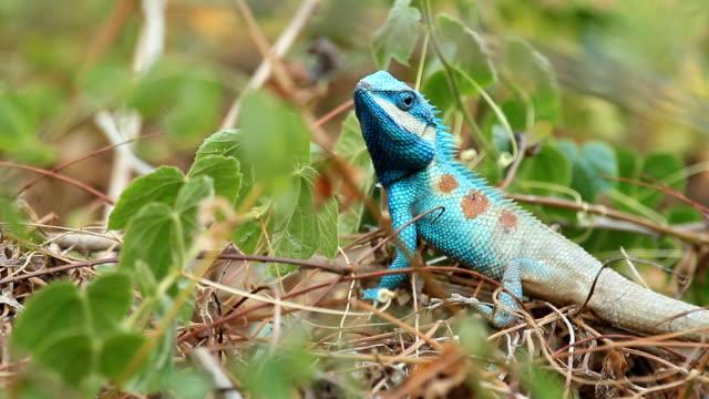 HD: lizard video