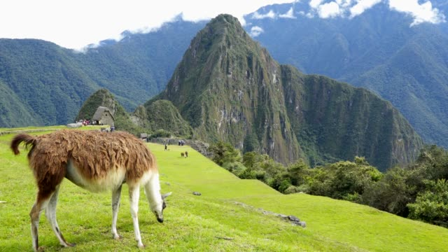 llama in the top of the machu pichu - lama oggetto creato dall'uomo video stock e b–roll
