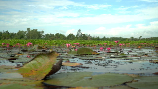 llow angle at water surface view: Pink lotus in wetlands Thale Noi video
