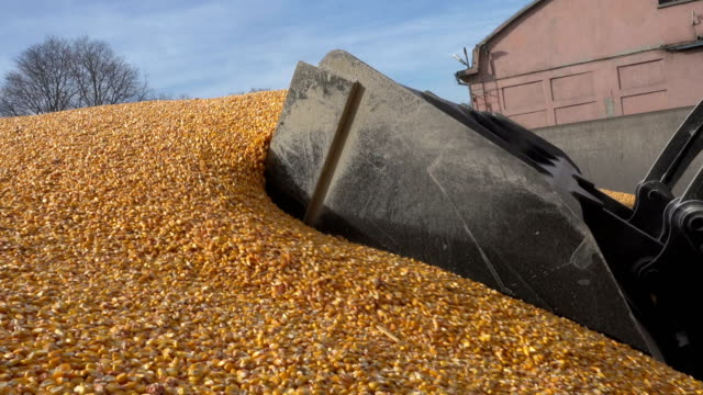 Loader bucket loading grain close up. Big heap of grain corn in a warehouse Loader bucket loading grain close up. Big heap of grain corn in a warehouseLoader bucket loading grain close up. Big heap of grain corn in a warehouse monoculture stock videos & royalty-free footage