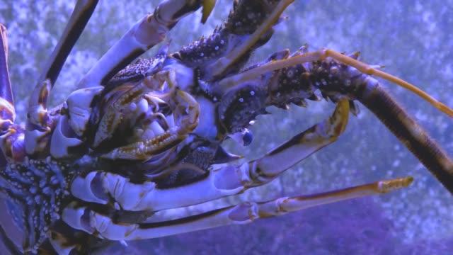 Lobster from below