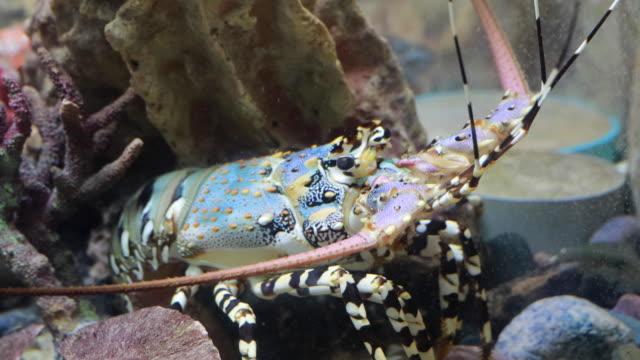 hummer in unterwasserwelt von tiefseetieren - süßwasserfisch stock-videos und b-roll-filmmaterial