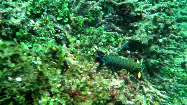 Lobster Palinurus elephas, also known as the Mediterranean lobster