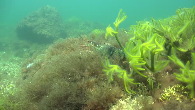 Lobster searching weeds video