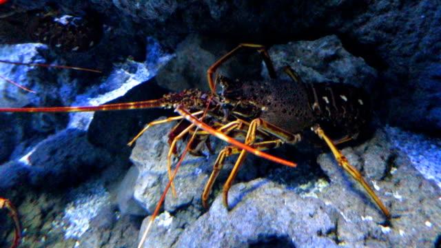 lobster side video