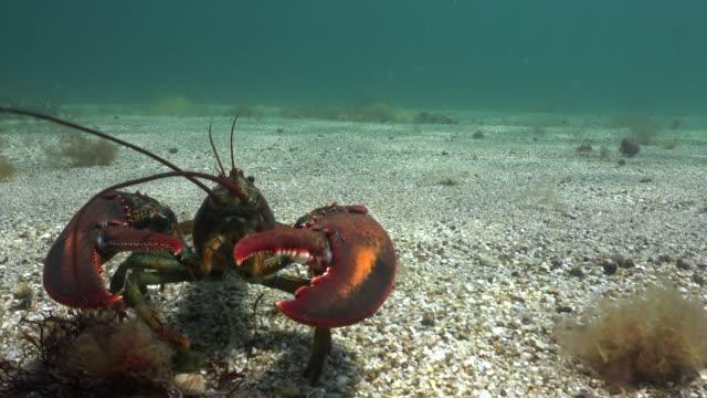 lobster - oceano atlantico video stock e b–roll