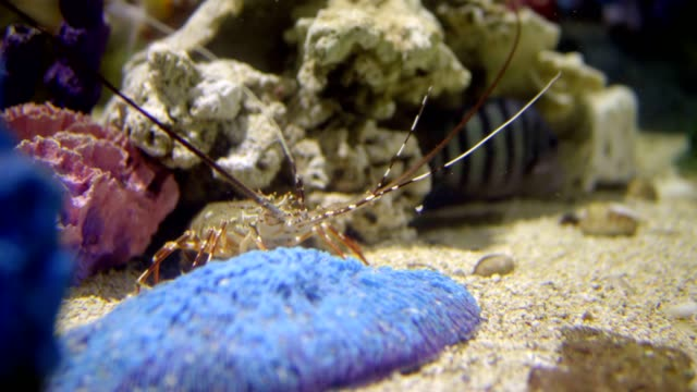 lobster walking on the coral reef. Deep caribbean sea lobster walking on the coral reef. Deep caribbean sea turks and caicos islands stock videos & royalty-free footage