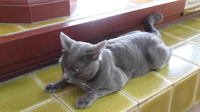 lokala thailändska grå kort hår katt chillar ut - morrhår bildbanksvideor och videomaterial från bakom kulisserna