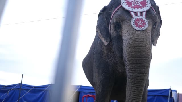 locked down shot of circus elephant from behind safety railing - circus стоковые видео и кадры b-roll