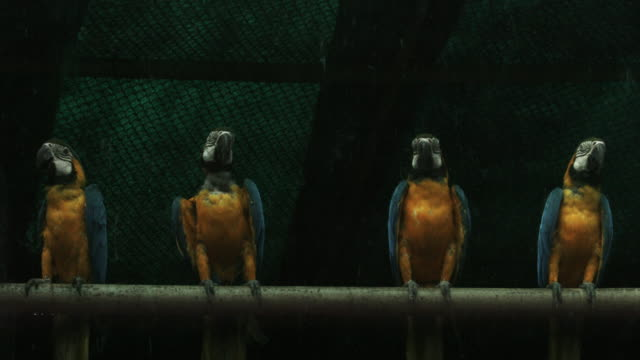 Locked-on shot of Blue-and-Yellow-Macaws (Ara ararauna) in cage in a zoo, National Zoological Park, Delhi, India video