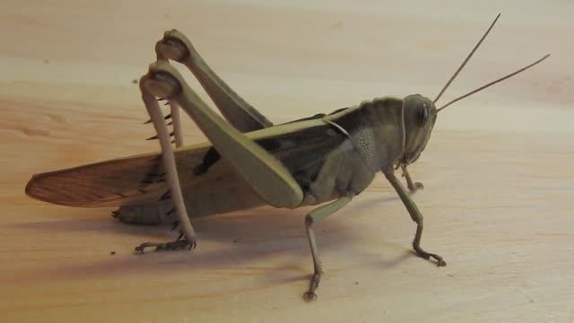 locust - feldheuschrecken stock-videos und b-roll-filmmaterial