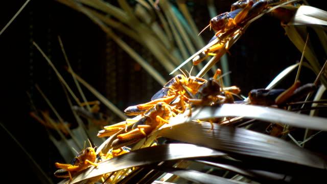 heuschrecken und vegetation - feldheuschrecken stock-videos und b-roll-filmmaterial