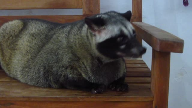 Loewak (a.k.a. the Asian Palm Civet)