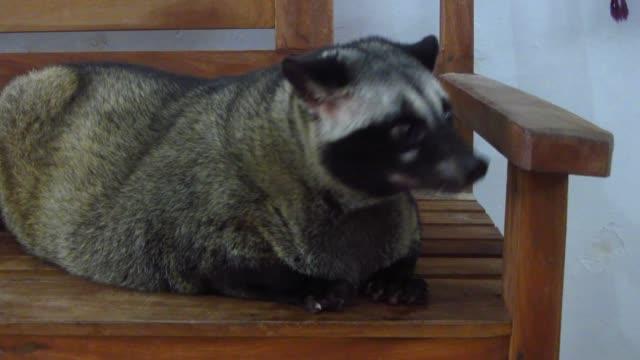 loewak (aka den asiatiska palmsibet) - däggdjur bildbanksvideor och videomaterial från bakom kulisserna