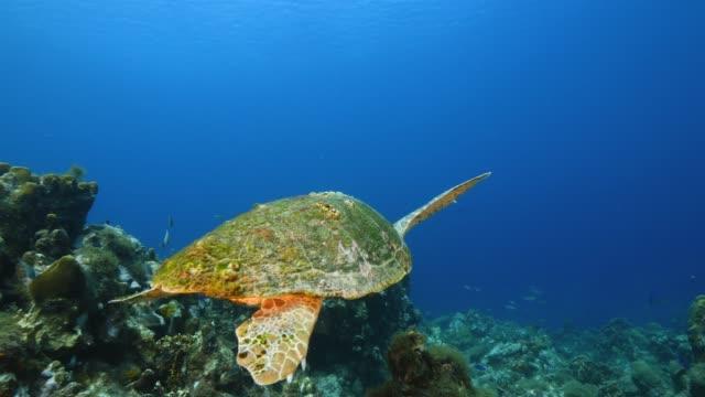 Loggerhead Sea Turtle in coral reef of Caribbean Sea around Curacao video