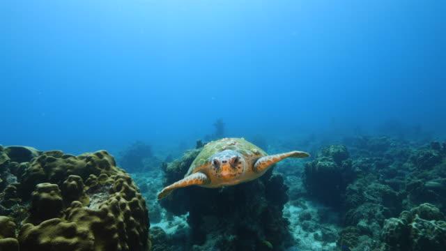 vidéos et rushes de tortue de mer loggerhead dans le récif corallien de la mer des caraïbes autour de curaçao - tortue