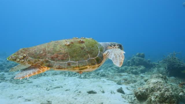 Loggerhead Sea Turtle in coral reef of Caribbean Sea around Curacao swimming Loggerhead Sea Turtle in coral reef around Curacao / Dutch Antilles curaçao stock videos & royalty-free footage
