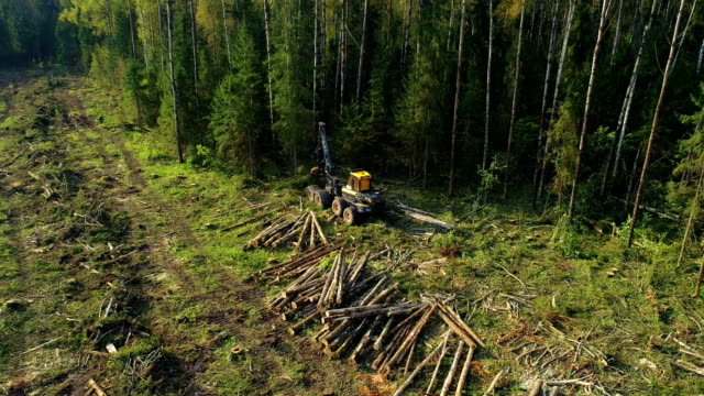 Logging machine cutting down trees, cutting branches and laying trunks for further transportation to the woodworking factory Logging machine cutting down trees, cutting branches and laying trunks for further transportation to the woodworking factory. Copter ( drone ) shooting cutting stock videos & royalty-free footage