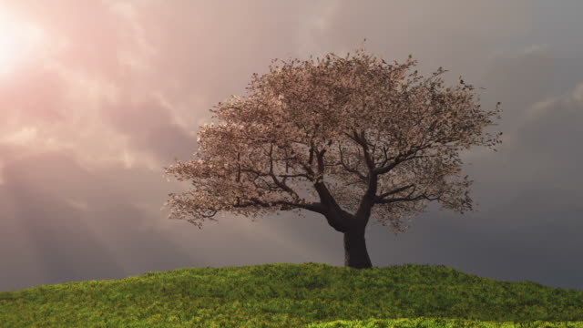 Lone Cherry Tree on a hill with God Rays video