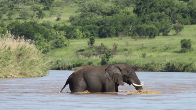 A lone elephant crossing an African river. A lone African elephant crossing the Umfolozi river in South Africa. natal stock videos & royalty-free footage