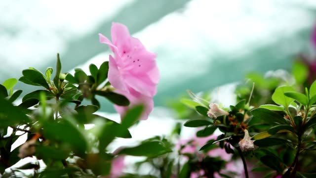 lone light pink azalea flower among small leaves under bright light on background   of roof of greenhouse focus change - pistillo video stock e b–roll