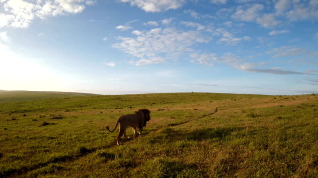 lone lion on the grasslands - hunting stock videos and b-roll footage