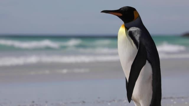 lone penguin on the beach - pingwin filmów i materiałów b-roll