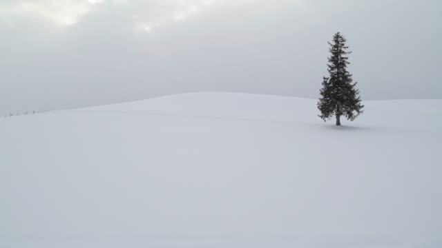 lone pine tree under snöfall i biei, hokkaido, japan - hokkaido bildbanksvideor och videomaterial från bakom kulisserna
