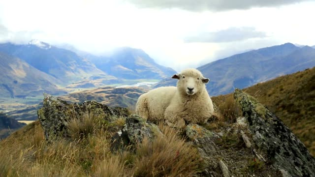 Lone sheep lies on mountain ridge