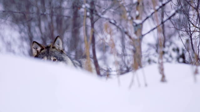 lone wolf approacing i vackra vinter skog - på tå bildbanksvideor och videomaterial från bakom kulisserna